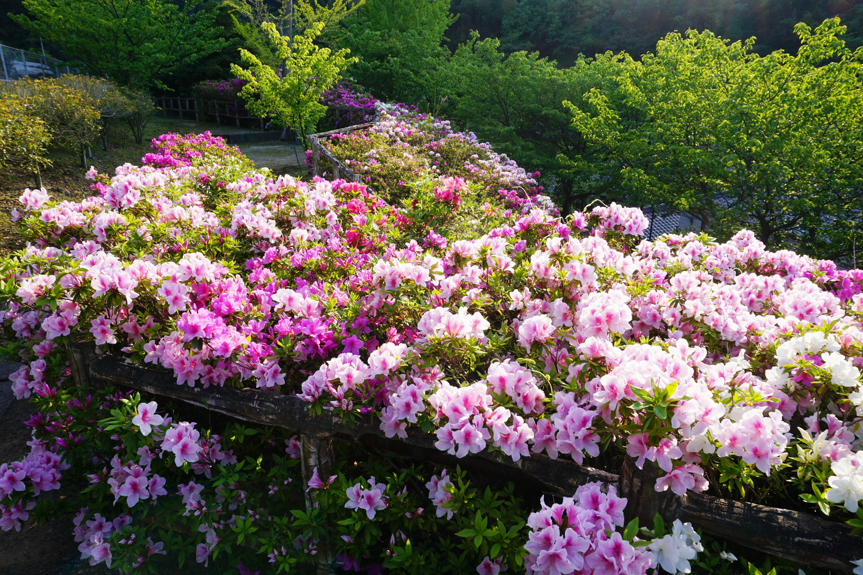 視界を埋め尽くすは3色のツツジ! 保内町磯崎にある「二宮敬作記念公園」のツツジが見頃を迎えていますよ!