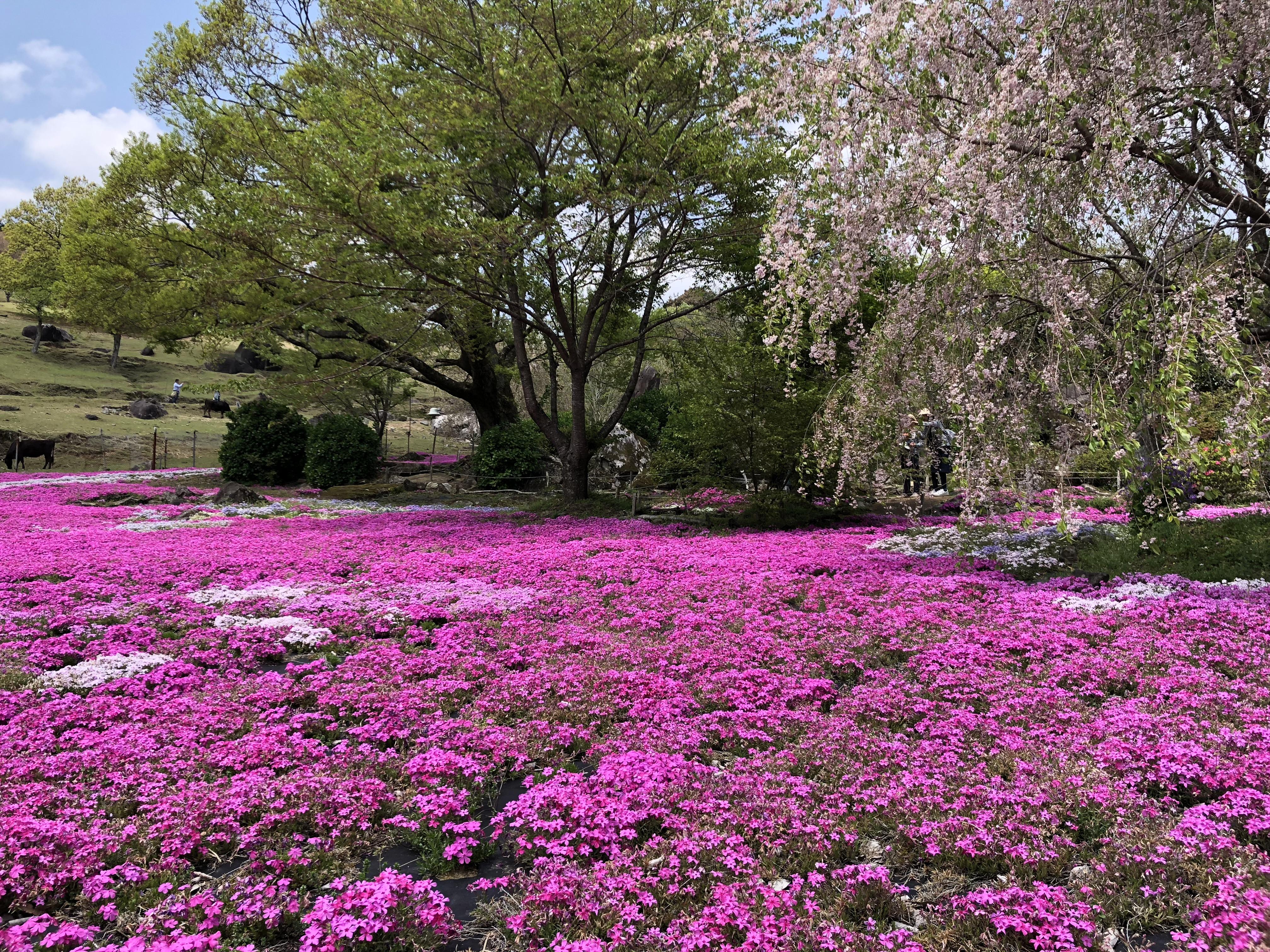 毎年4月頃開催!カフェ・ソフトクリームもある山本牧場の「しば桜まつり」に参加してきたよ!